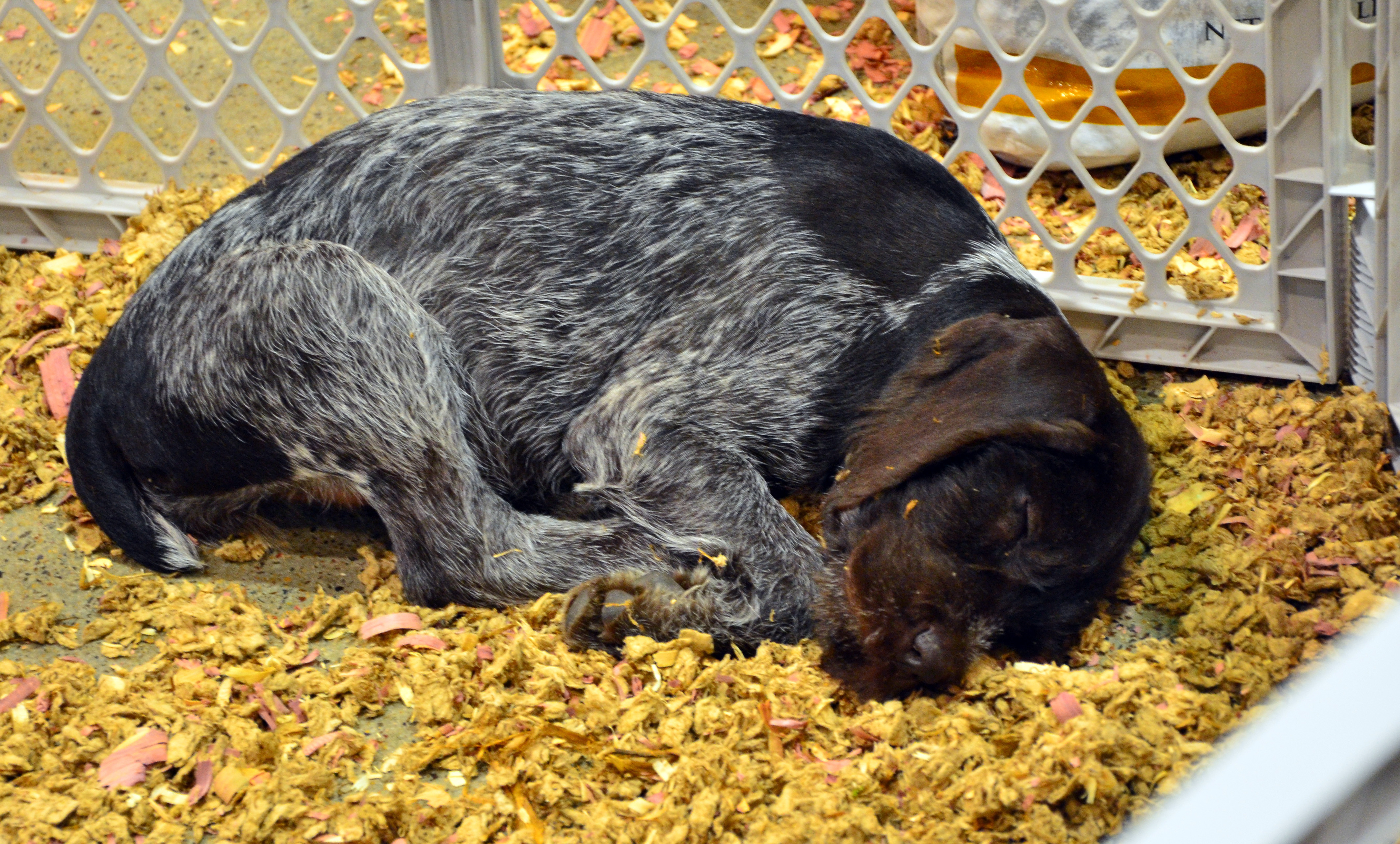 German Wirehair