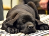 Sleeping black lab puppy
